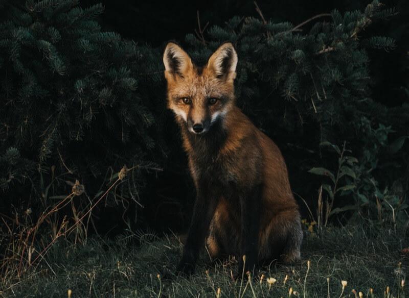 不気味な狐